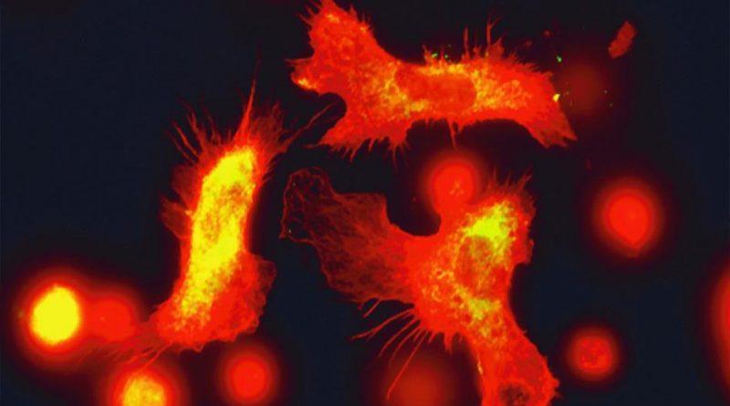 Стволовые клетки крови повышают иммунитет