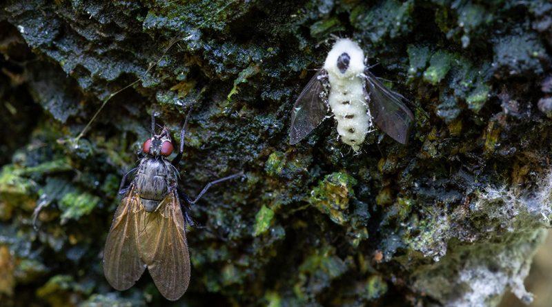 Этот грибок убивает мух необычным способом