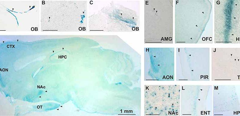 Гистологический анализ экспрессии TAAR5 в мозге мыши