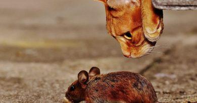Паразит лишает грызунов страха перед кошачьими и делает их безрассудными