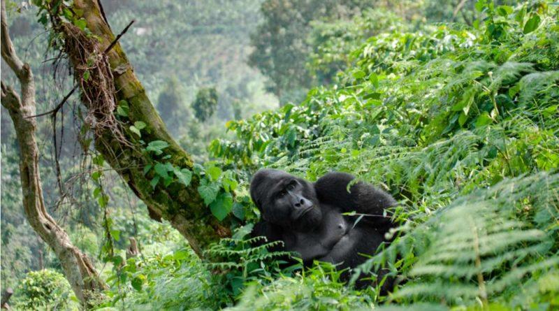 Национальные парки в Африке оградили горилл от вспышки COVID-19