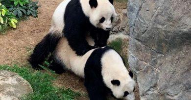 После 10 лет попыток эти панды наконец-то спарились во время карантина COVID-19