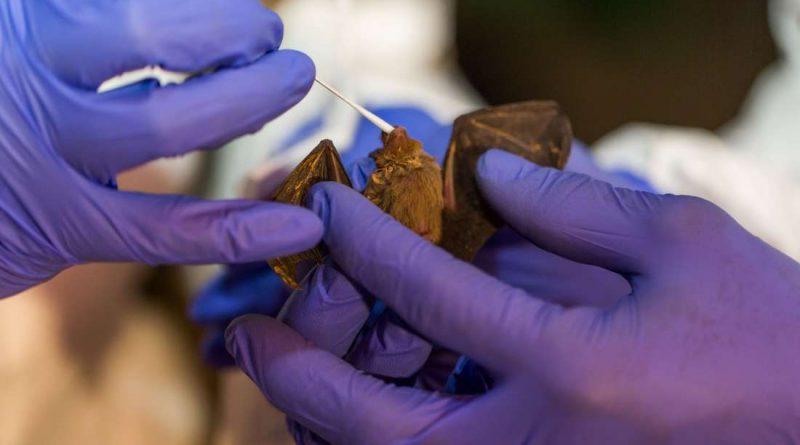 У летучих мышей обнаружено 6 новых штаммов коронавирусов