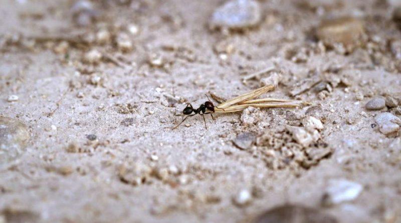Муравьи инженеры-экологи, поскольку они восстанавливают сухие луга
