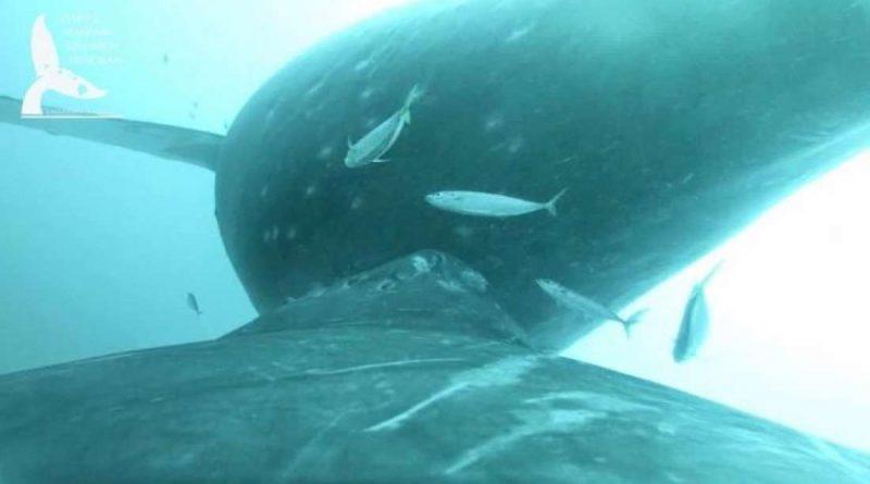 Камера запечатлела редкие кадры китихи, кормящей своих телят