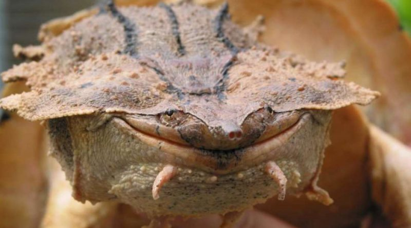 Обнаружены новые виды черепахи Мата Мата