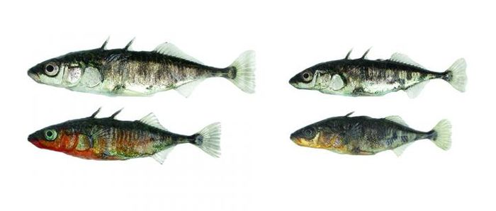 В Боденском озере и его окрестностях можно найти два экотипа колюшек. Каждый из них развивался под влиянием своей специфической среды обитания: озеро - слева и река  - справа. Два экотипа различаются по многочисленным морфологическим и поведенческим признакам; наиболее поразительными являются различия в размерах тела и в племенной окраске самцов. / Университет Базеля, Даниэль Бернер