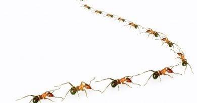 Как муравьи побеждают заторы