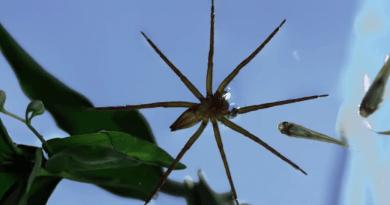 Эти пауки ходят на рыбалку(видео)