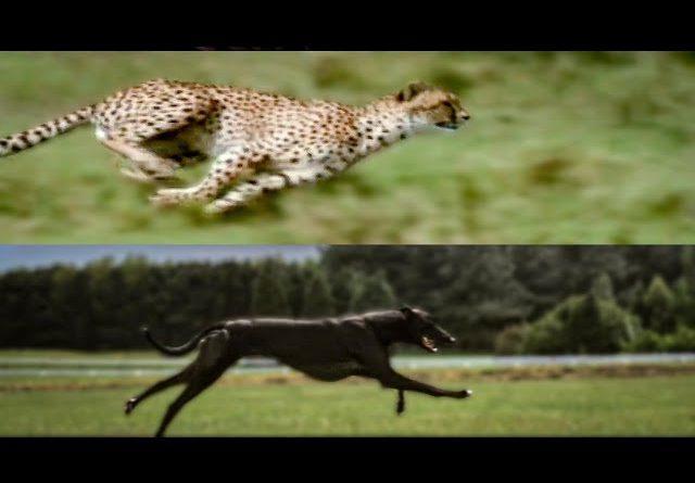 Самая быстрая кошка против самой быстрой собаки