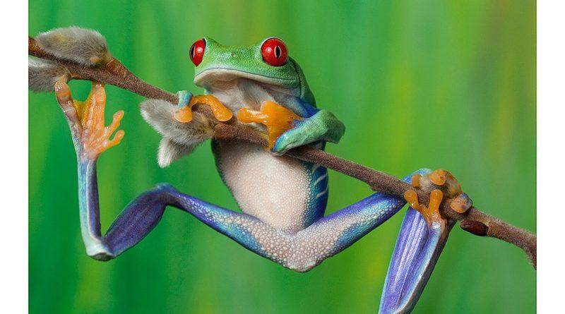 Древесные лягушки защищаются от хищников слуховой иллюзией