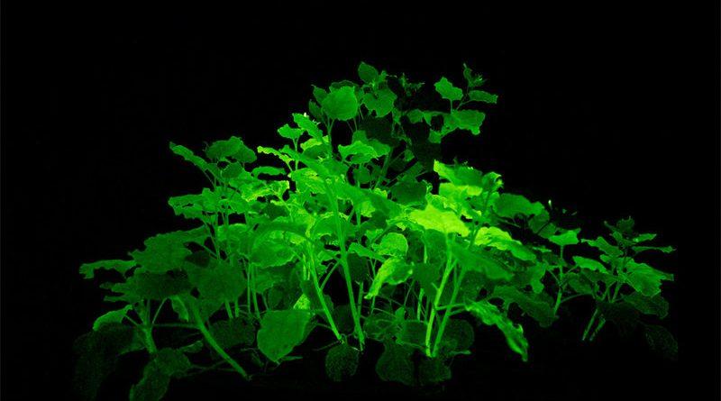 ГМО табак светится в темноте