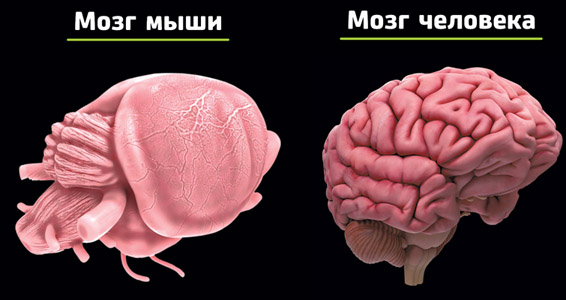 """Ученые нашли область в мозге мыши, которая может """"отключить боль"""""""