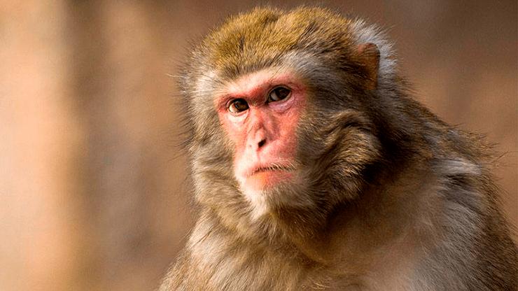 Китайские ученые внедрили ген человеческого интеллекта обезьянам