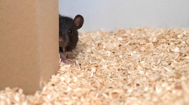 Крысы играют в прятки и прыгают от радости, когда побеждают
