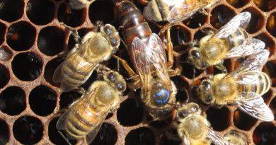 Как пчела поднимается в ранг королевы?