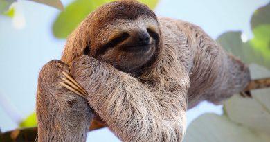 Ленивцы интереснее, чем вы думаете