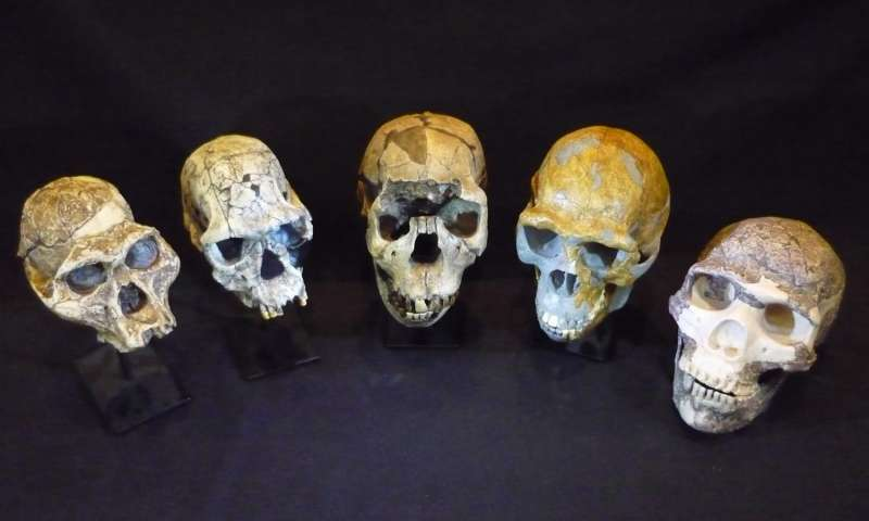 Слева направо: Australopithecus afarensis, Homo habilis, Homo ergaster, Homo erectus и Homo neanderthalensis. Фото: Роджер Сеймур.