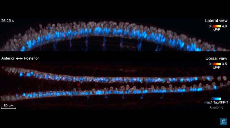 Ученые наблюдают за нейронами, образующими первые цепи в развивающемся эмбрионе