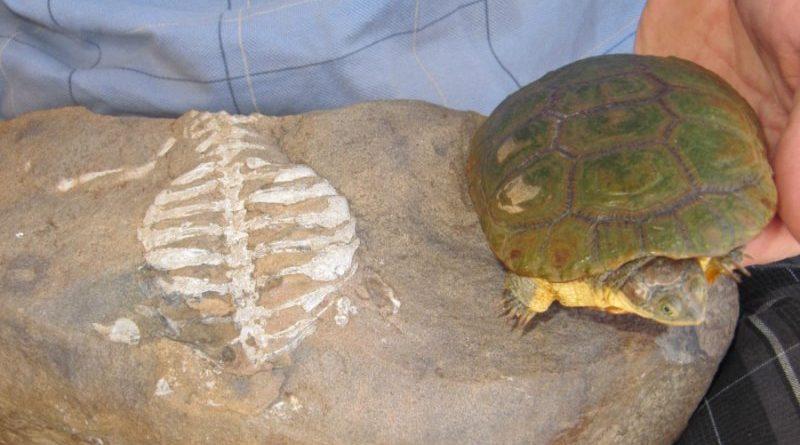 Исследования показывают, что панцирь черепахи эволюционировал для копания, а не защиты