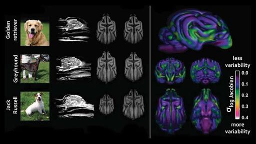 Мы меняем форму мозга наших собак