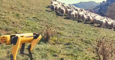 Гляньте, как робот Boston Dynamics пасет стадо овец
