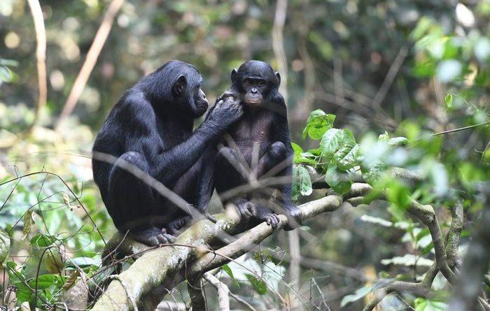 Матери Бонобо помогают своим сыновьям найти самку