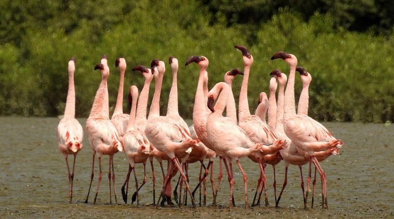 Более розовые фламинго более агрессивны