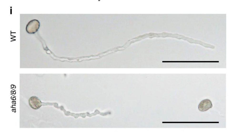 Микроскопическое фото обычной пыльцевой трубки(сверху) и пыльцевой трубки с выключенными генами роста(снизу). Черная линия - это шкала на 0,1 мм.  Предоставлено: Университет Копенгагена.