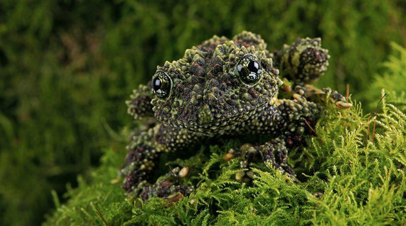 Мшистая лягушка - настоящий мастер маскировки