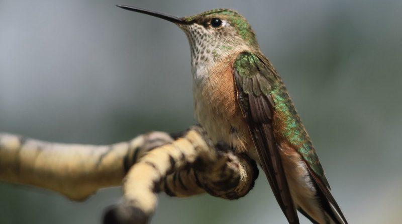 Колибри могут видеть цвета, которые мы даже не можем себе представить