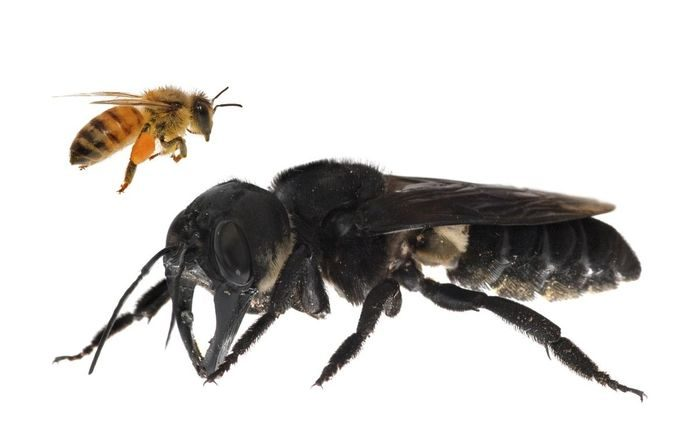 Самая большая пчела в мире - Megachile pluto