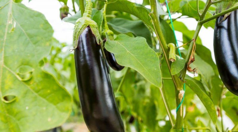 ГМО баклажаны дают на 20% больше продукции и доходов в Бангладеше
