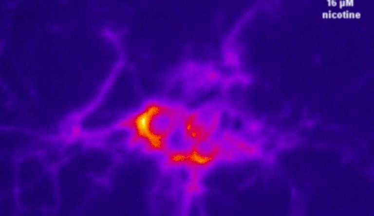 Влияние никотина на нейроны(видео)