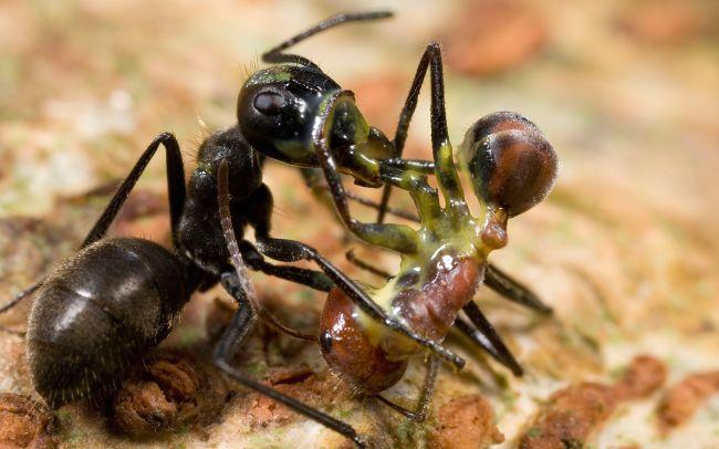 Два муравья встретили липкую смерть, когда один из них разорвал своее тело, извергнув липкую желтую слизь. © Mark Moffett