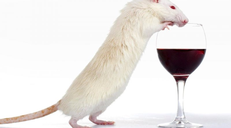 крысы алкоголь