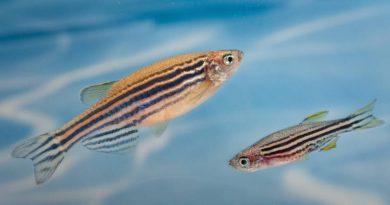 Рыбки данио-рерио