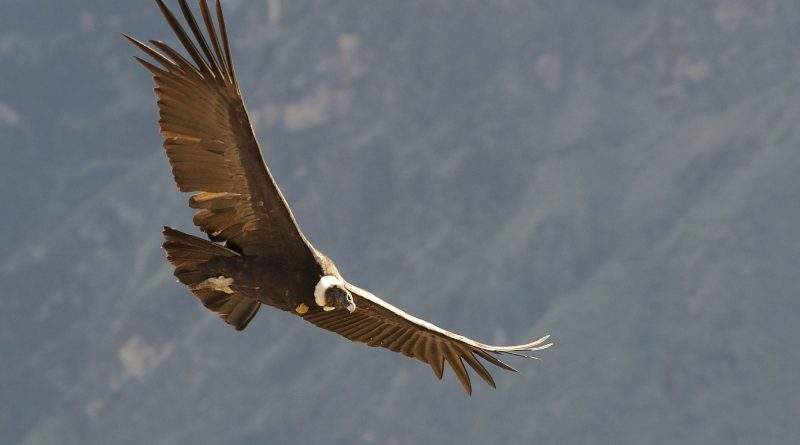 Андский кондор, крылья