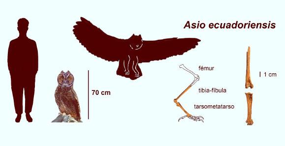 Сравнение размеров Asio ecuadoriensis с человеком (слева) и сохранившимися окаменелостями этой совы (справа).