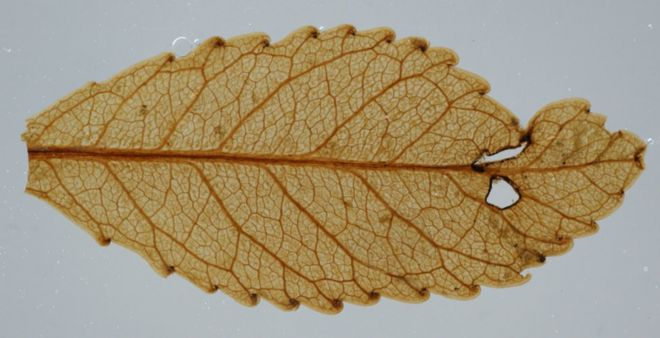 Окаменелые листья