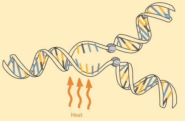 Копии ДНК