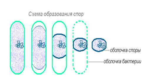 Споры бактерий