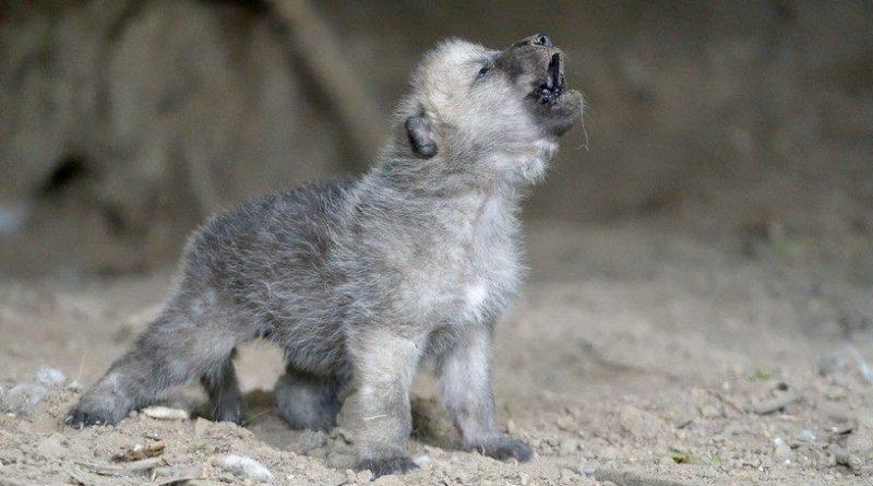 волк щенок