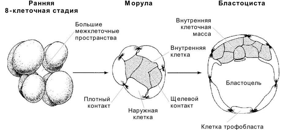 Морула и бластоциста на ранних этапах развития