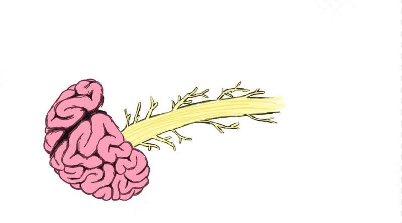 спинной мозг и головной мозг